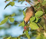 Cedar waxwing picking berries off of a serviceberry bush
