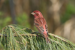 Male purple finch (Carpodacus purpureus) perched in a pine tree