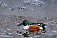 Northern Shoveler (Anas clypeata) drake on wintery morning in wetland pond.  Oregon-California border.  Late winter.