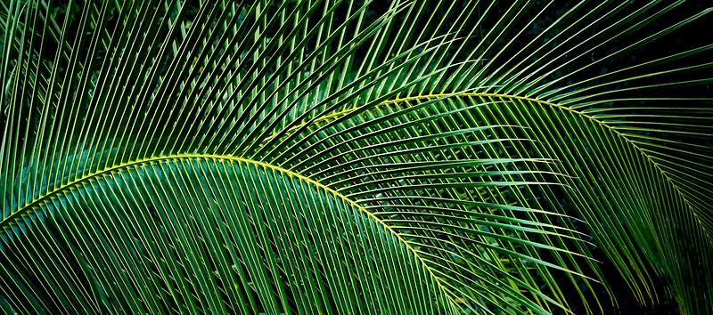 Close up of palm tree leaves. Kauai, Hawaii