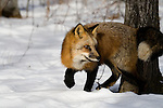 Red fox (Vulpes vulpes) walking in the snow