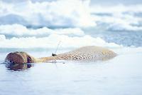 walrus, Odobenus rosmarus, tagged for research, Bering Sea, Arctic Alaska