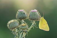 Orange Sulphur (Colias eurytheme), adult on Texas thistle (Cirsium texanum), Laredo, Webb County, South Texas, USA