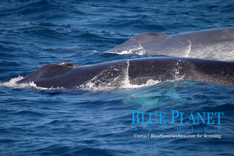 blue whale, Balaenoptera musculus, and fin whale, Balaenoptera physalus, Azores Islands, Portugal, North Atlantic