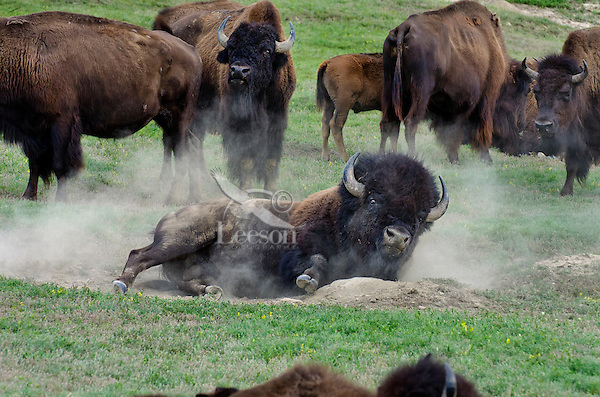 American bison (Bison bison) bull wallowing during summer mating season.  North American Great Plains, summer.  While all bison use dust baths to control irritating insects (biting flies, ticks, etc), bulls wallow in dust/dirt during the summer mating season to increase their sex appeal.