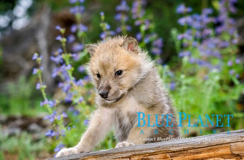 Alaskan tundra wolf, or barren-ground wolf, Canis lupus tundrarum, pup among wildflowers, Alaska, USA, North America