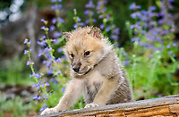 Alaskan tundra wolf, or barren-ground wolf, Canis lupus tundrarum, pup among wildflowers, Alaska, USA, North America