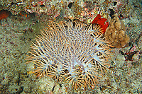 crown-of-thorns starfish, Acanthaster planci, Amami-ohsima island, Kagoshima, Japan, Pacific Ocean