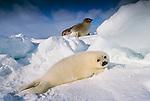 Harp seal and pup, Iles de la Madeleine, Quebec, Canada