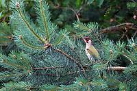 Grünspecht, Männchen, Grün-Specht, Grasspecht, Erdspecht, Specht, Spechte, Picus viridis, green woodpecker, European green woodpecker, male, Le Pic vert, pivert