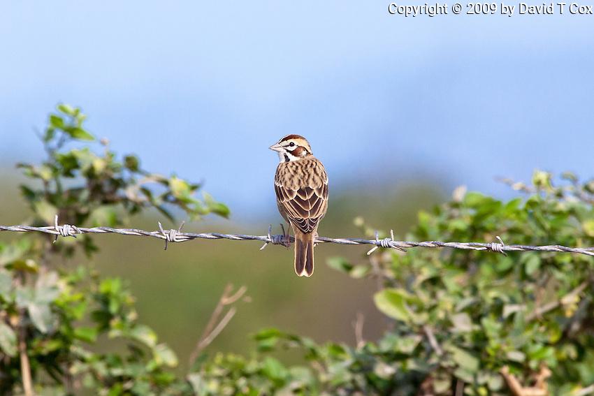 Lark-Sparrow, Teacapan, Mexico