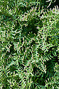 New Zealand cedar (Libocedrus plumosa), late March. From New Zealand, where it isknown as kawaka.