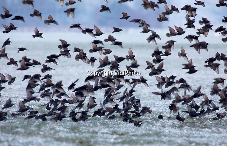 Foto: VidiPhoto<br /> <br /> VALBURG – Tienduizenden spreeuwen fourageren maandag in de weilanden bij Valburg, tot groot plezier van de boeren. Waar (zacht)fruittelers dit voor hen schadelijke wild in de zomerperiode wel kan schieten, zijn ze 's winters van veel nut voor de landbouwsector. Spreeuwen gaan in de winter op zoek naar emelten (larven van de langpootmug) in graslanden. Zo worden voor de landbouw schadelijke insectenlarven onschadelijk gemaakt. In sommige landen plaatsen boeren daarom zelfs spreeuwenappartementen. De winterspreeuwen zijn afkomstig uit Noord- en Oost-Europa omdat de winters hier minder streng zijn en er meer voedsel te vinden is. De spreeuw is de meest getelde vogel tijdens de vogelteldagen die het komend weekend worden gehouden.