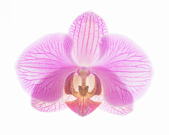 The symmetry of an orchid.