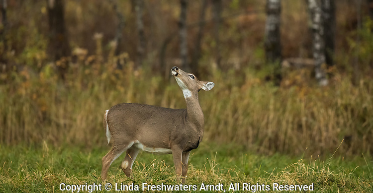 White-tailed doe picking up a scent in the wind.
