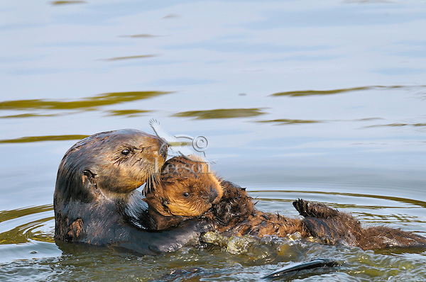 """Sea Otters (Enhydra lutris)--mom carrying young pup.  Young pups have light brown or yellowish fur called the """"natal pelage.""""  This fluffy fur helps the pup stay afloat before it learns the intricacies of swimming, and it will be completely replaced with dark brown adult fur by the time the pup is about three months old."""