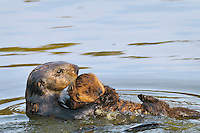 "Sea Otters (Enhydra lutris)--mom carrying young pup.  Young pups have light brown or yellowish fur called the ""natal pelage.""  This fluffy fur helps the pup stay afloat before it learns the intricacies of swimming, and it will be completely replaced with dark brown adult fur by the time the pup is about three months old."