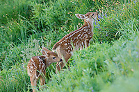 Two young Columbian black-tailed deer (Odocoileus hemionus columbianus) fawns exploring meadow.  Pacific Northwest.  Summer.