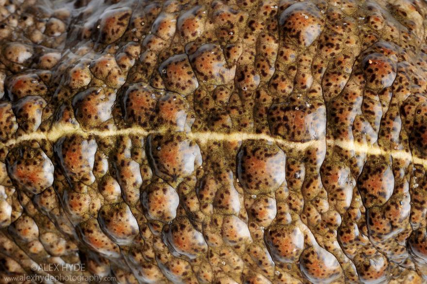 Natterjack Toad (Epidalea calamita) detail showing yellow dorsal stripe. Sefton Coast,  Merseyside, UK. April. Photographed under licence. Photographer: Alex Hyde