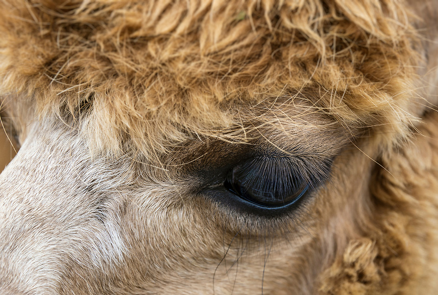 Alpaca portrait eye detail.