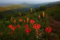 Turk's Cap Lily (Lilium superbum) at Tennent Mountain