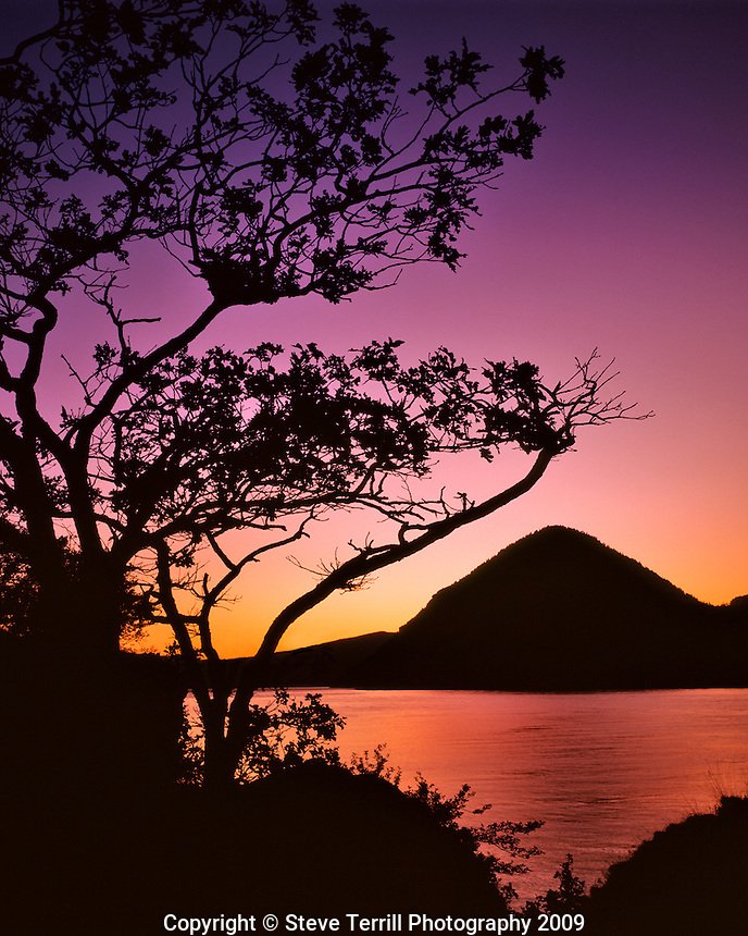 Oak trre framing Wind Mountain at sunset in Columbia River Gorge National Scenic Area Oregon
