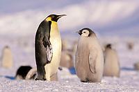 emperor penguins, Aptenodytes forsteri, adult and chick, Cape Washington, Antarctica