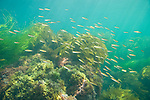 San Clemente Island, Channel Islands, California; a school of juvenile Senorita (Oxyjulis californica) fish swim over kelp beds in the shallow water