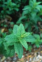 Mentha x piperata peppermint herb