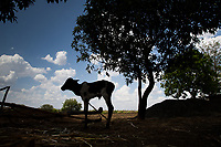 An emaciated calf stands on farmland in the drought-hit region of Latur, Maharashtra, western India.