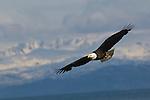 A bald eagle flying in Homer, Alaska.