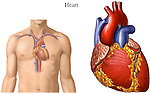 This medical exhibit illustrates the location of the heart within the body. Also a detailed view of the heart.