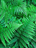 Ferns, Savanna Portage State Park, Minnesota