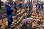 Truffling in Cahors France 1990s. French farmer used a pig to smell out the truffles on his land. They will be sold onto Jacques Pedeyre Frances largest truffle dealer and exporter. Seen here a group of chefs from the UK visit Jacques Pedeyre Frances largest truffle dealer