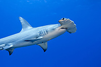 There are few photographs of Great Hammerhead Sharks, Sphyrna mokarran, although they are considered common. The Bahamas., Caribbean, Atlantic