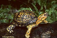 1R07-001z  Eastern Box Turtle - Terrapene carolina