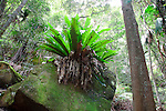 Birds Nest Fern, Strickland State Forest, NSW