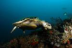 Green Turtle, Chelonia mydas,  Blue Heron Bridge; Lake Worth Inlet; Florida; USA; Amazing Underwater Photography; Marine behavior
