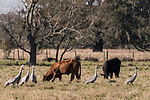 Damon, Texas; several sandhill cranes foraging for food amongst grazing cows in a pasture in early morning sunlight