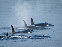killer whale or orca, Orcinus orca, resident pod, surfacing in Chatham Strait, Alaska, USA, North Pacific Ocean