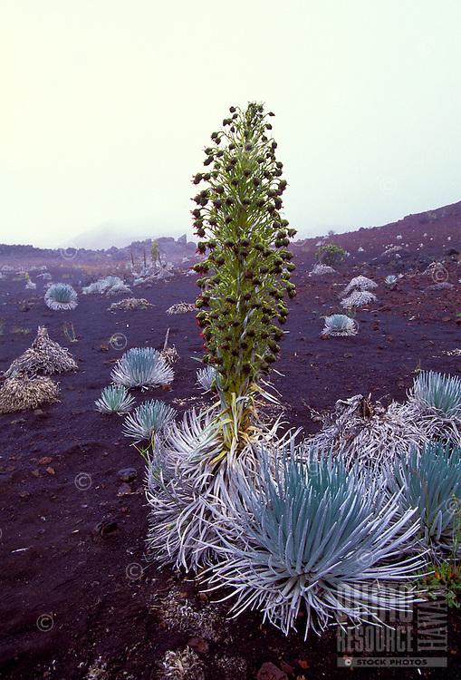 Close up of silversword plant, Haleakala National Park, Maui