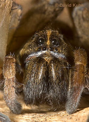 1006-0914  Wolf Spider, Details of Head, Eyes and Fangs, Hogna spp. [formerly Lycosa spp.]  © David Kuhn/Dwight Kuhn Photography