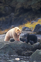 spirit bear, kermode, black bear, Ursus americanus, mother with cub eating fish, rainforest area of the central British Columbia coast, Canada
