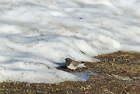Dark-eyed Junco (Junco hyemalis) feeding along late melting snowbank in alpine meadow.  Pacific Northwest.  June.