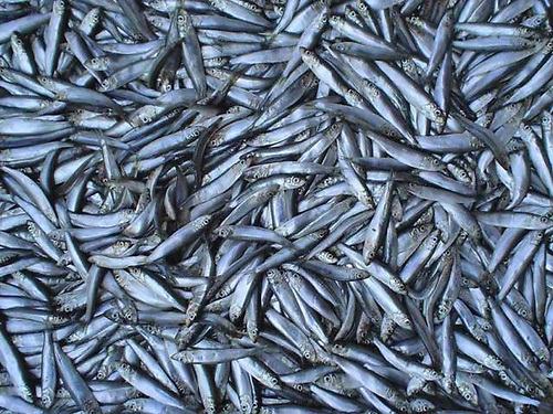 There are fears there will be overfishing of sprat will again occur this winter. Sprat are the target fish for the seasonal pair trawling fishery in Irish waters