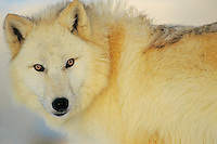 Arctic Wolf or Arctic Gray Wolf (Canis lupus) in winter.