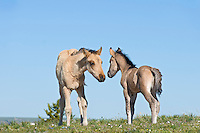Wild Horse or feral horse (Equus ferus caballus) colts checking eachother out.  Western U.S., summer.