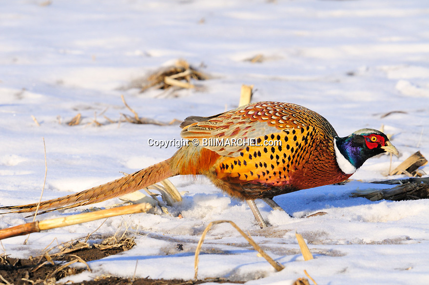 00890-042.01 Ring-necked Pheasant rooster is feeding in picked corn field during winter.   Food, survive, farm, cold, action.
