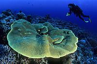 scuba diver with plate coral, Turbinaria reniformis, Palau (Belau), Micronesia, Pacific Ocean