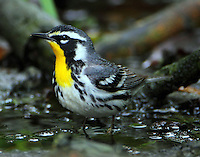 Female yellow-throated warbler in April